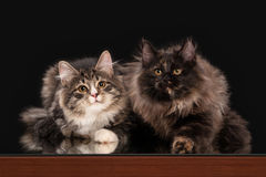 Tortoise siberian kitten on black Stock Images