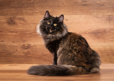 Tortoise siberian kitten on wooden texture Royalty Free Stock Photos