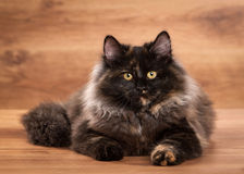 Tortoise siberian kitten on wooden texture Royalty Free Stock Photography