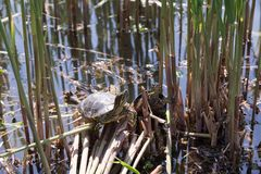Tortoise sitting on a lake side. Small tortoises sitting on a stick lake side sunny two Royalty Free Stock Photography
