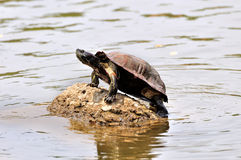 Tortoise sitting on rock Royalty Free Stock Photo
