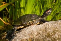 Tortoise sitting on stone Stock Photo