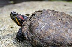 Tortoise sitting on stone Royalty Free Stock Photos
