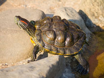 Tortoise sitting on stones Royalty Free Stock Photo