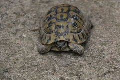 Tortoise. Small domestic tortoise pulling its head back in the shell. Natural light, selective focus Royalty Free Stock Photo