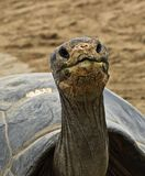 Tortoise. Smiling face of a one hundred year old tortoise Stock Images
