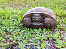 A Smiling Turtle Stock Image