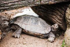 Tortoise sotto il legno Fotografia Stock Libera da Diritti