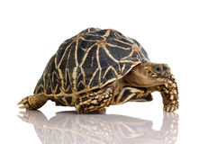 Tortoise Starred indiano - elegans del Geochelone fotografie stock libere da diritti