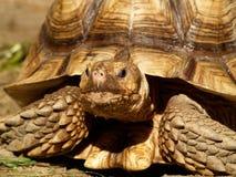 Tortoise stimolato africano Fotografie Stock