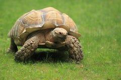 Tortoise stimolato africano fotografie stock libere da diritti