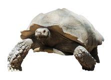 Tortoise stimolato africano Immagini Stock Libere da Diritti