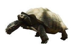 Tortoise stimolato africano Fotografia Stock