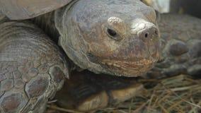 Tortoise stimolato africano video d archivio