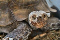 Tortoise stimolato africano immagine stock