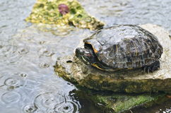 Tortoise in rain Royalty Free Stock Images