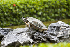 Tortoise on stone waiting Stock Images