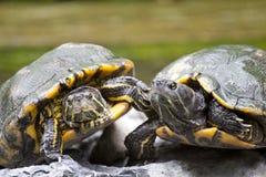 Tortoise on stone waiting Royalty Free Stock Image