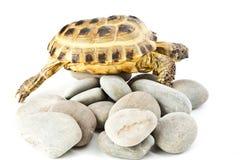 Tortoise on stones Stock Images