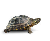 Tortoise su priorità bassa bianca Immagini Stock Libere da Diritti