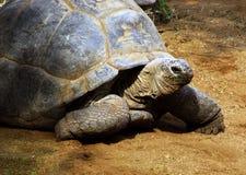 Tortoise sudafricano enorme il Bergskilpad Fotografia Stock Libera da Diritti