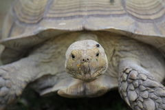 Tortoise. Sulcata - African spur tortoise, can live 100+years Stock Images