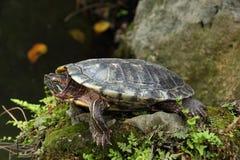 Tortoise sunbathing na skale Zdjęcie Stock