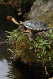Tortoise sunbathing na skale Obraz Stock
