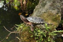 Tortoise sunbathing na skale Zdjęcia Royalty Free