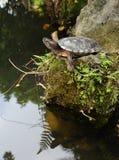 Tortoise sunbathing na skale Zdjęcia Stock