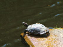 Tortoise. A tortoise sunbathing near a pond stock photo