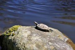 Tortoise  sunbathing on a rock Royalty Free Stock Photos