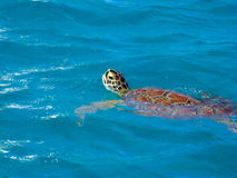 A tortoise. Swimming in a blue water in the Caribbean Stock Image