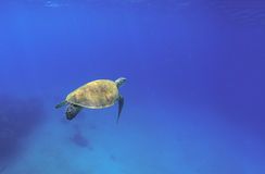 Tortoise swimming in oceanic water. Green turtle in wild nature. Sea tortoise diving in blue seawater. Oceanic animal photo for card or banner. Snorkeling with Stock Photos