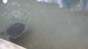 Tortoise swims in aquarium. Sea turtle in reserve stock video footage