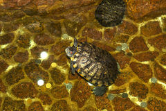 Tortoise swims in an artificial pond in a cozy country. Cafe Stock Photo