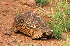 Tortoise in tanzania national park Royalty Free Stock Image