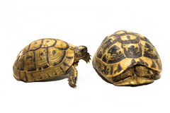 Tortoise tapping on tortoise hiding in shell. Shy tortoise hiding in shell and tortoise tapping on it's shell Royalty Free Stock Photos