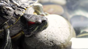 Tortoise in the terrarium stock video footage