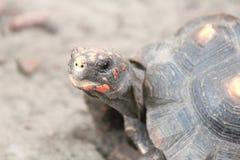 Tortoise  (Testudinidae) Stock Image