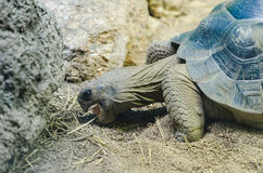 Tortoise Testudinidae eating in sand Stock Photo
