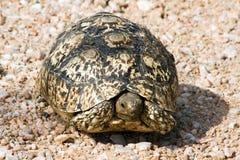 Tortoise (Testudinidae) nel Namibia Fotografie Stock