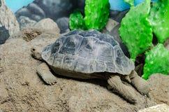 Tortoise Testudinidae resting in sand Stock Photography