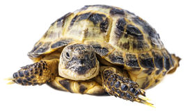Tortoise -  testudo horsfieldii Royalty Free Stock Photos