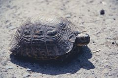 Tortoise toned Royalty Free Stock Images