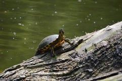 Tortoise. Tortuise on a tree on a sea in Stockerau Stock Photo