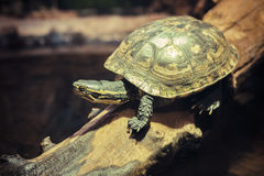 Tortoise on a tree branch Stock Photo