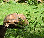 Tortoise. This tortoise tries to hide behind trees after seeing people coming into his area royalty free stock images