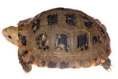 Tortoise turtle Stock Images