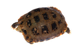 Tortoise turtle Royalty Free Stock Photography